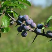 Blackthorn, delicious wild berries