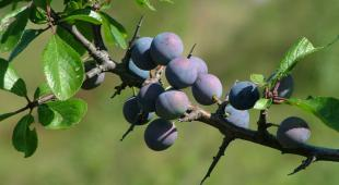 Blackthorn berries or sloes clustered on a branch.