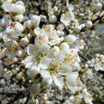 Blackthorn flowers are white and grow in clusters that cover the shrub.