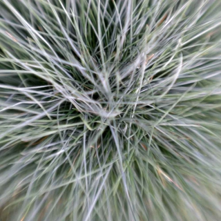Close-up of the center of a blue fescue grass clump.