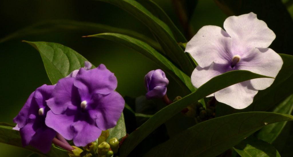 Two brunfelsia blooms, one violet and one pale purple, with green leafage.