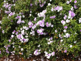 A hedge grown with brunfelsia shrubs, in full bloom.