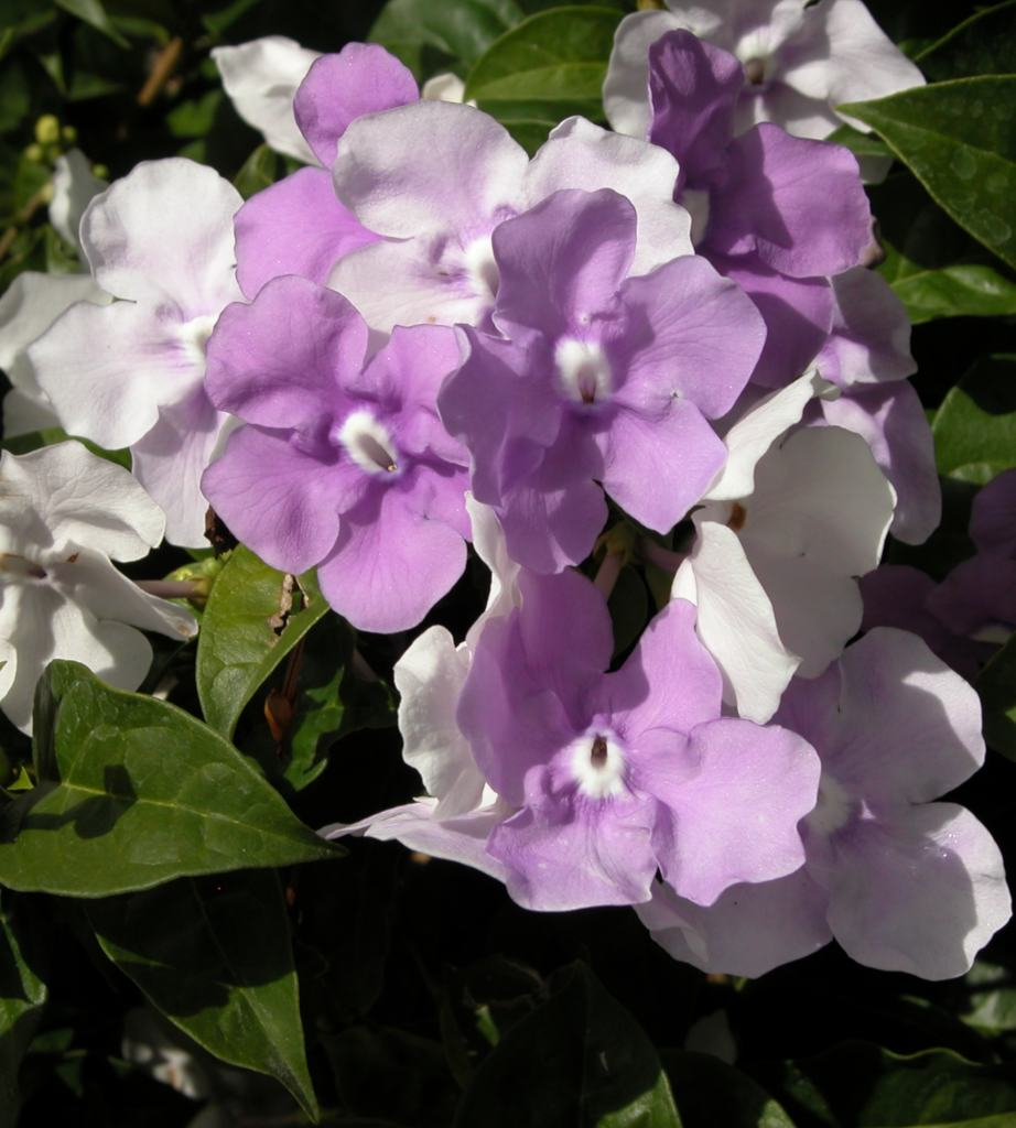 Brunfelsia flower cluster with pale violet and white flowers.