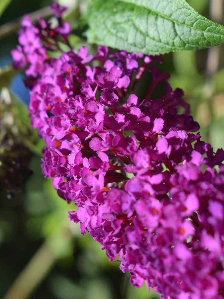 Buddleja, planting, pruning, and care
