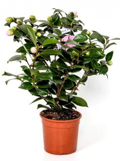 White-flowered camellia growing in a pot.