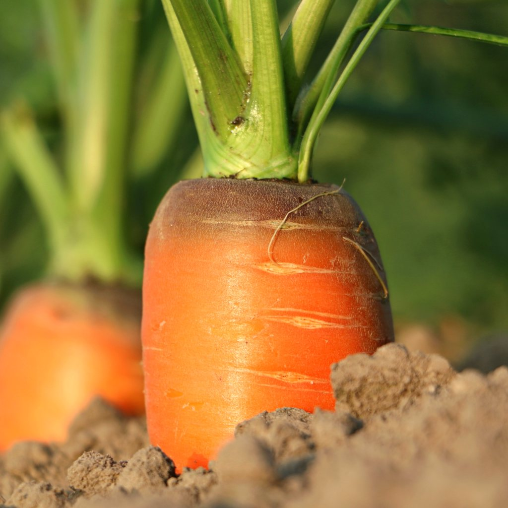 Carrot, from seed to harvest