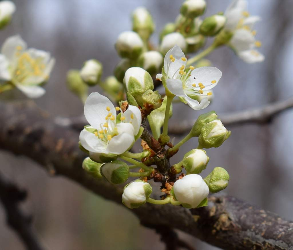 Cherry Tree Planting Pruning And Advice On Caring For The Best