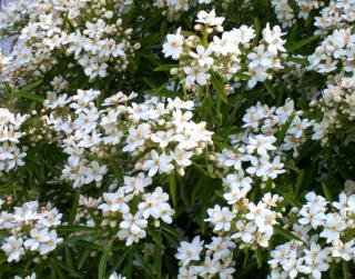 Shrub of the Choisya ternata aztec pearl shrub in full bloom.