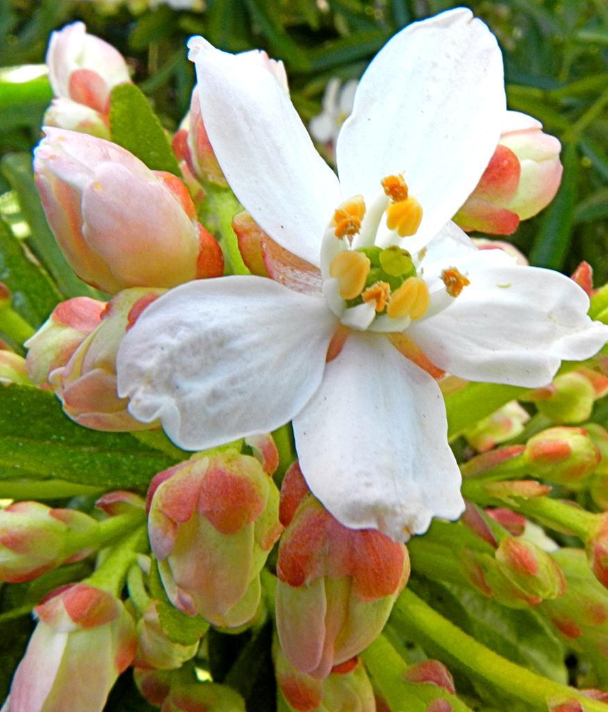Young blooms of the Choisya ternata Aztec Pearl