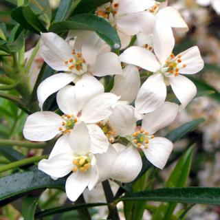 Proper choisya ternata care results in these fragrant white clusters of flowers.