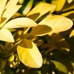 Named for its sun-colored leaves, the Choisya ternata sundance!