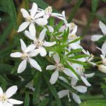 White Dazzler Choisya ternata variety