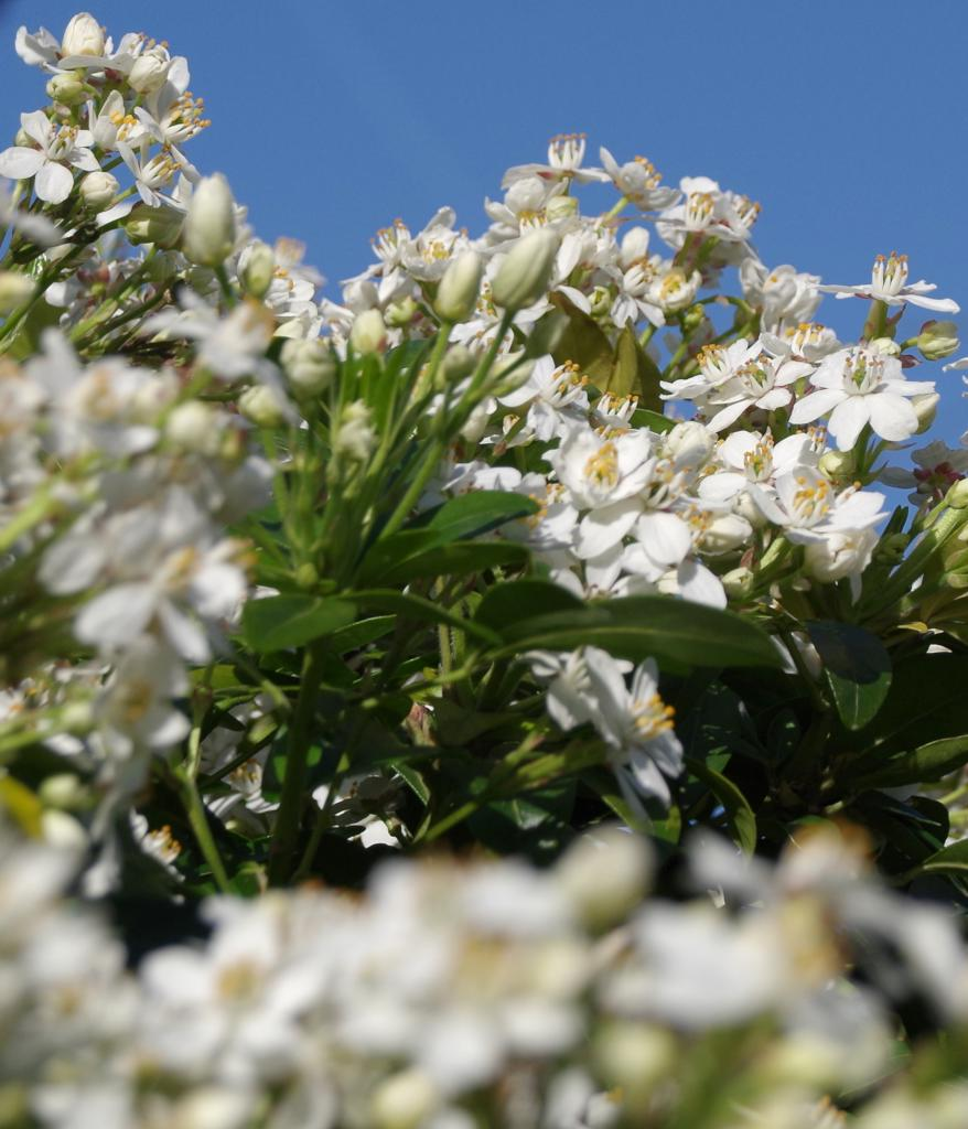 Choisya ternata bush in full bloom against a deep blue spring sky