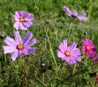 Voilet and pink cosmos flowers.