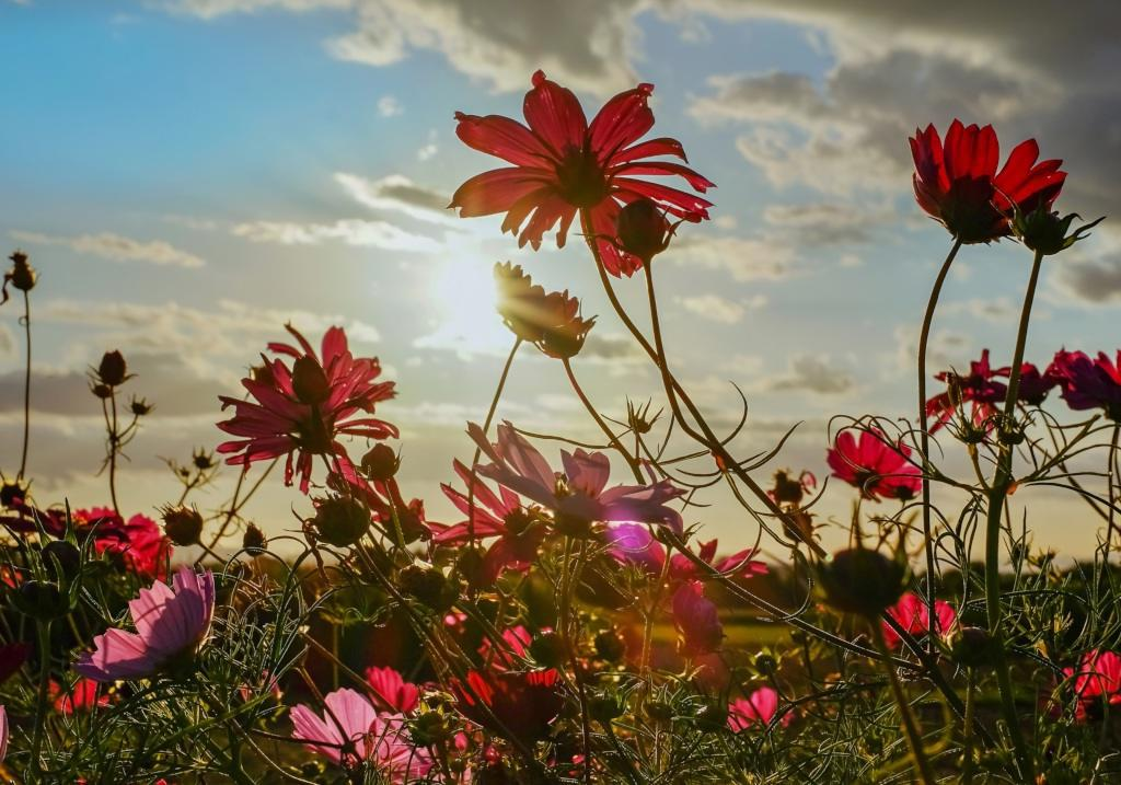 A wonderful sunset in a field of cosmos flowers.