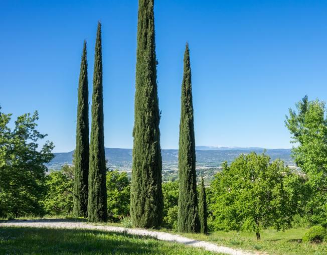 Cypress tree,a superb conifer