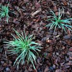 Three ribbon or spider plants growing in cypress pine bark mulch.