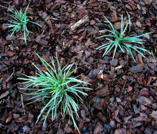Three ribbon or spider plants growing in cypress pine bark mulch.