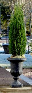 Container-grown cypress in a stone pot