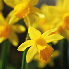 Narcissus, daffodil, spring is nigh!
