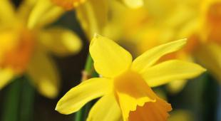 Bright yellow daffodils with hanging heads.