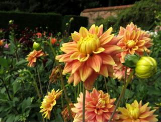 Blooming yellow-orange dahlia in a flower bed.