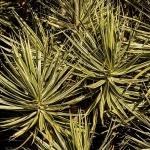 Dracaena marginata growing in the wild