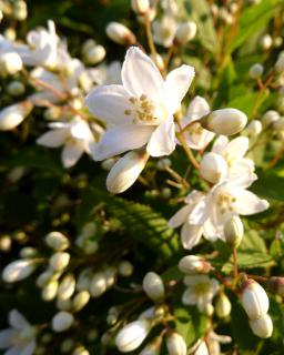 Beautiful close-up of a well-cared for deutzia plant.