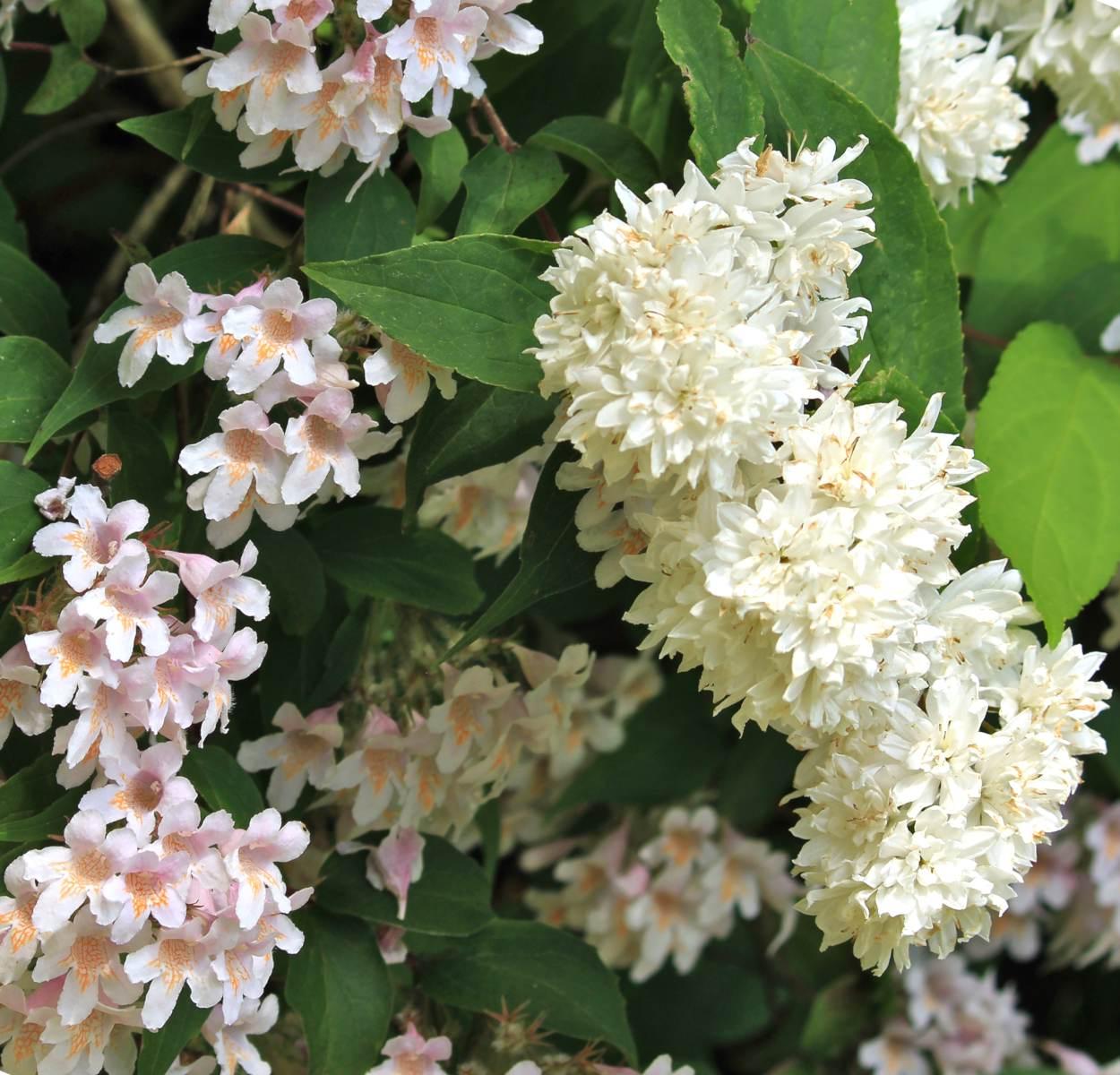 Two varieties of deutzia flowering next to each other.