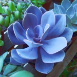 Purple-blue Echeveria 'Perle von Nurnberg' plant