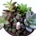 Beautiful arrangement of tiny Echeveria plants growing in a terra cotta pot