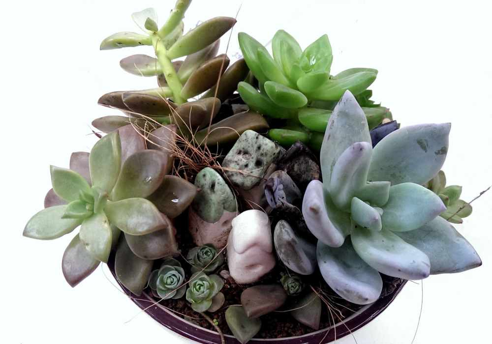 echeveria growing it and advice on how to care for it to produce pups. Black Bedroom Furniture Sets. Home Design Ideas