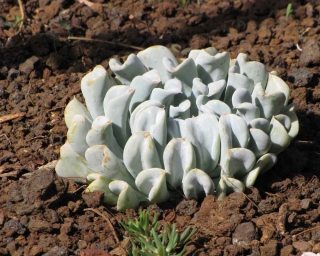 Echeveria runyonii variety growing outdoors in pozzolana mulch