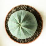 Round, smooth Euphorbia obesa in pot against white background.