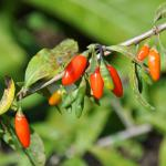 Ripe and unripe goji berries on the shrub.
