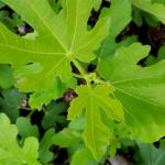 Leaves of the fig tree.