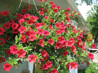 Red-flowered hanging surfinia planted in a white hanging pot