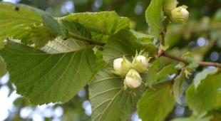 Hazel nut tree branch with leaves and three unripe nuts.