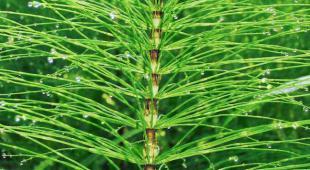 Horsetail plant leaves to make fermented tea.