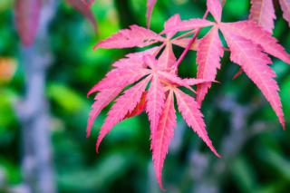 Red leaves, delicately formed, of a Japanese maple against a vivid green backdrop.