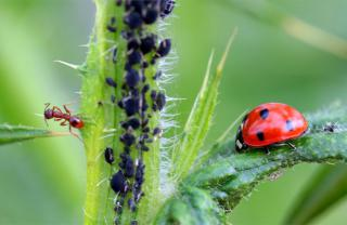 An ant, a colony of aphids and a ladybug next to each other on a plant.