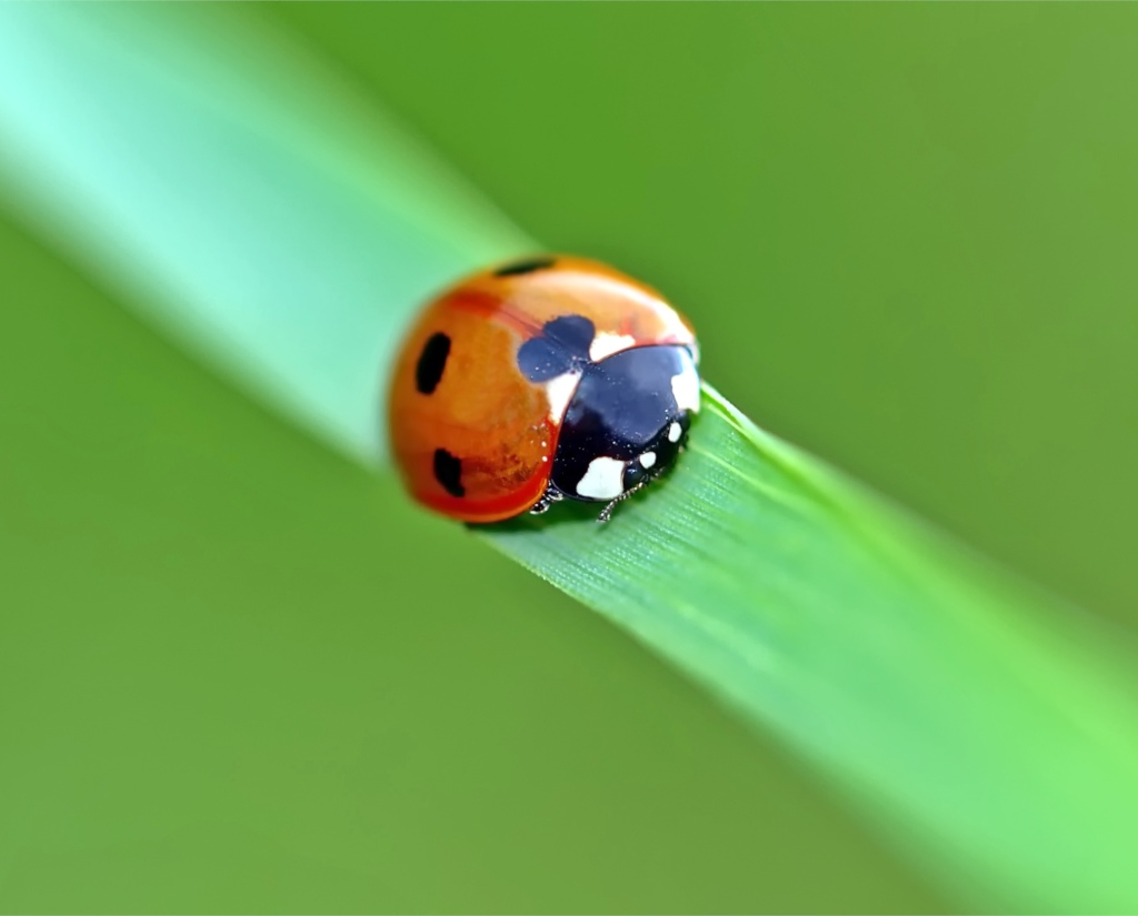 A ladybug on a blade of grass with its legs tucked in under it.