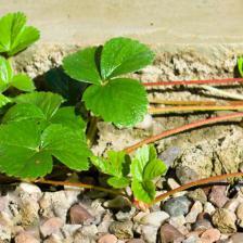 Layering strawberry plants