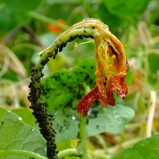 Aphid colony infesting a nasturtium plant destroying the flower
