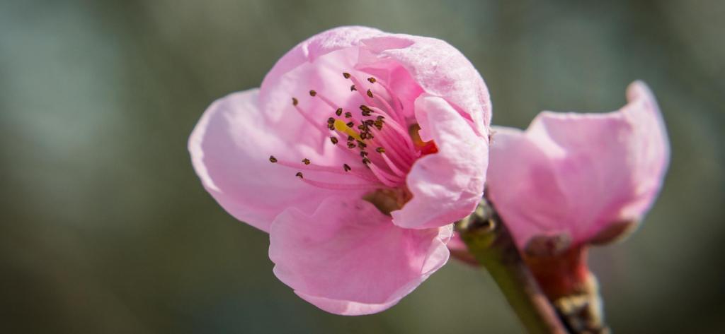 Nectarine tree flower