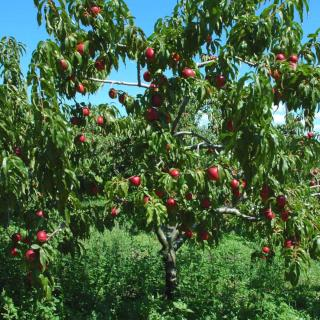 Nectarine tree with red fruits