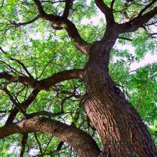 Oak, the king of the forest