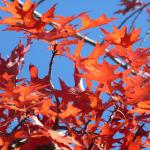 Fire red leaves of an oak tree in autumn.