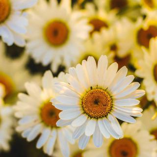 Oxeye daisies filling the shot.