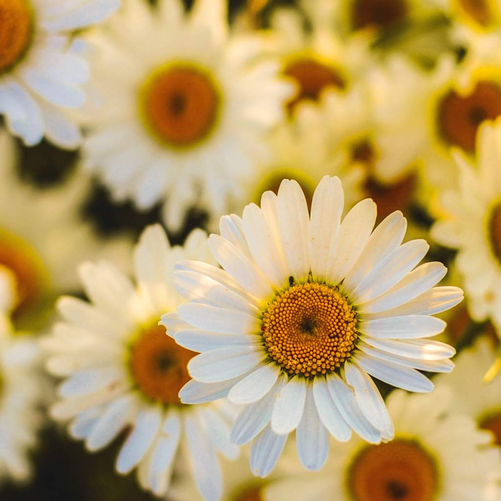 Daisy Planting Care Blooming Of Oxeye The 5th Anniversary Daisies